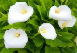 five hazy white lillies with green leafs