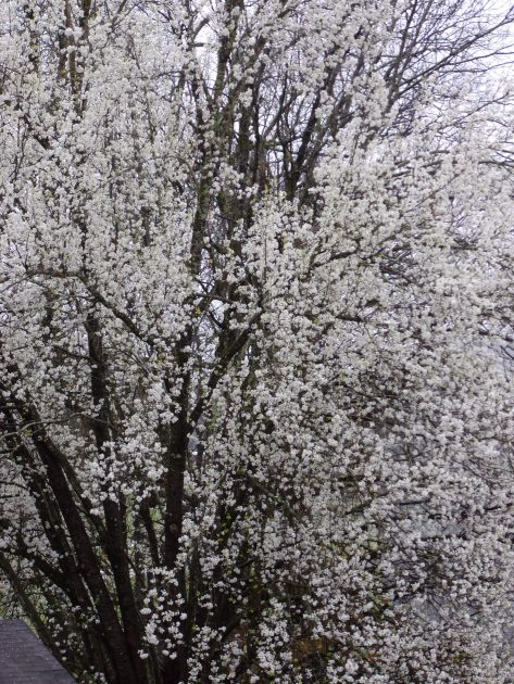 Bradford Pear (taken outside my bedroom window - raining)